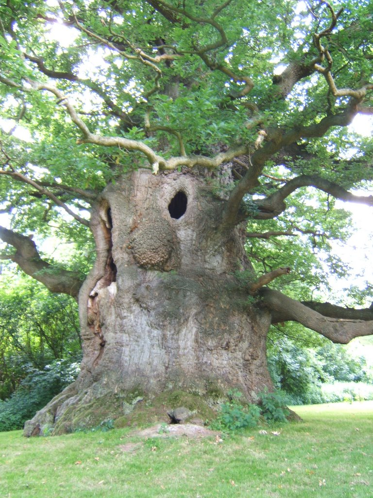 Majesty Oak, Fredville Park, Nonington, about 600 years old