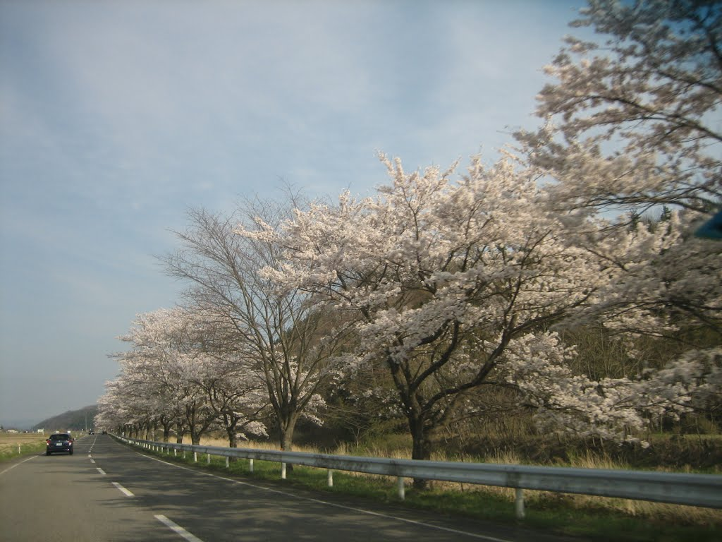 Row of cherry blossom trees in the spring