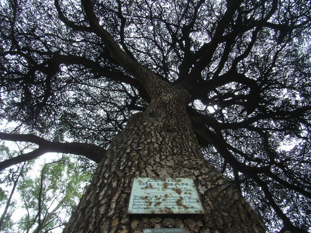 Lebanese ceder tree planted in 1734