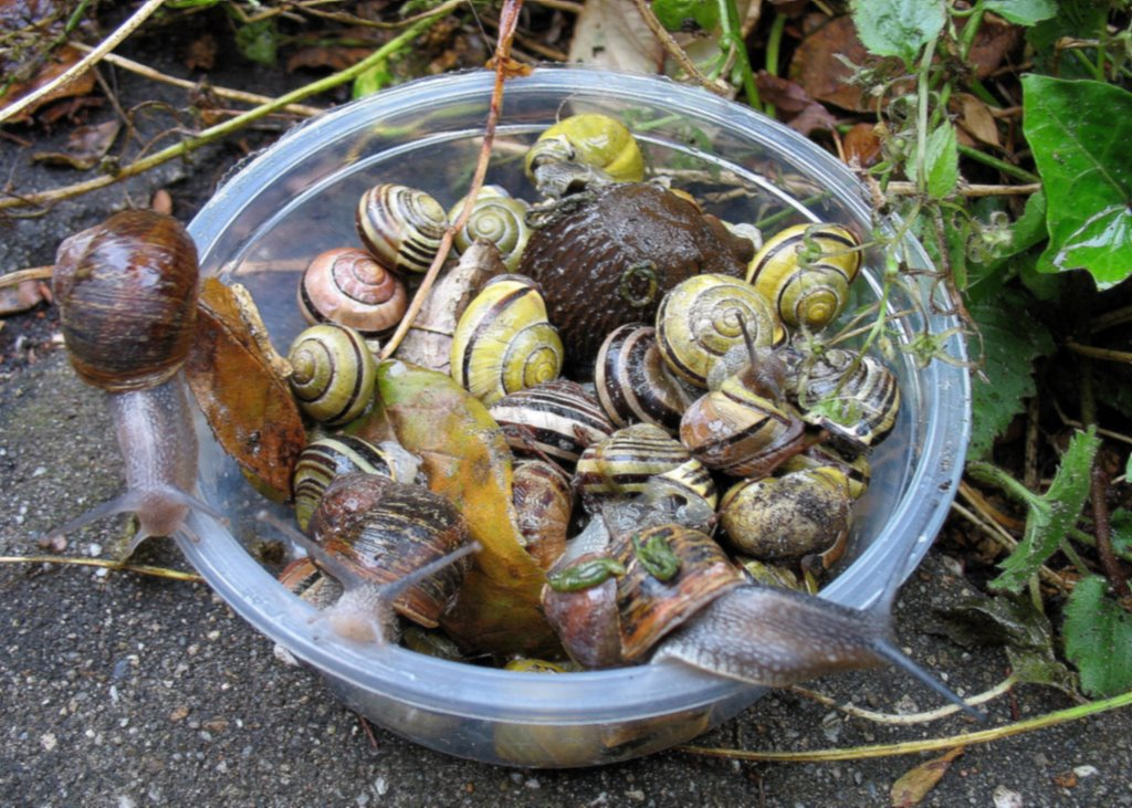 53 Snails caught exactly on one square meter under the rose in my garden... Bah!