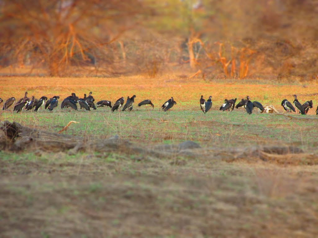 Abdin's Storks on the banks of the Luangwa River
