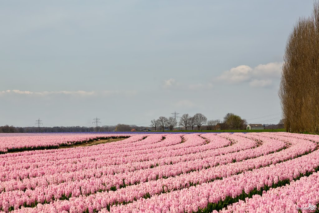 Hyacinth fields Wouwse Plantage