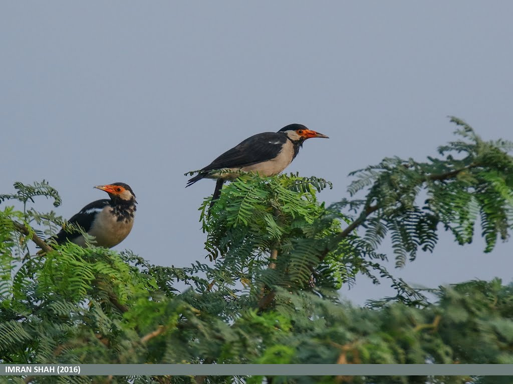 Pied Myna (Gracupica contra) captured at Marala, Sialkot, Punjab, Pakistan with Canon EOS 7D Mark II