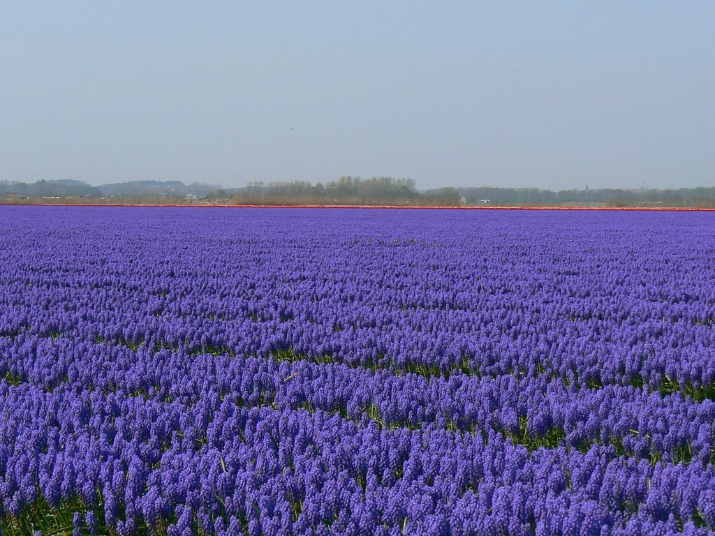 Noord-Holland, bulbfield (muscari) near Egmond-Binnen