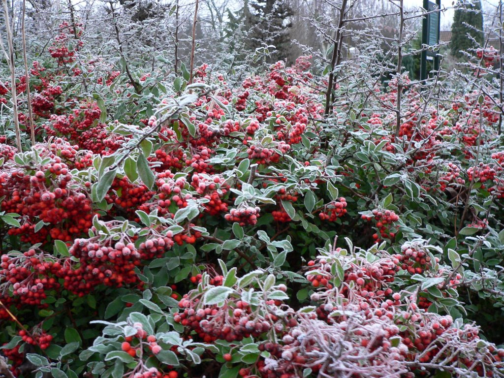 Red frosted berries (Pyracantha coccinea)