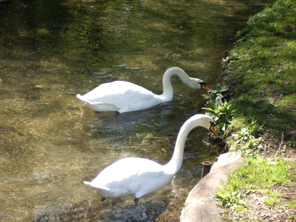 Waterworld Mute Swans, Kearsney Abbey, Dover, Kent, United Kingdom