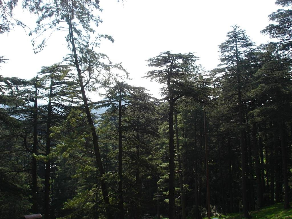 The Pine Forest