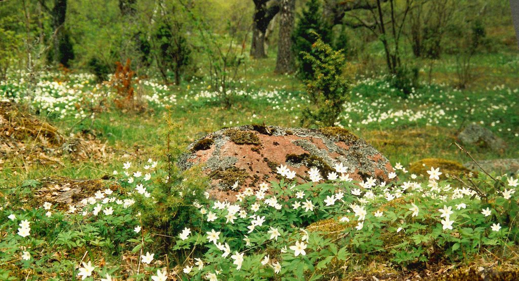 Vitsippor/Wood anemones in wooded meadows in the island of Nåtö. Åland islands in Swedish spoken part of Finland