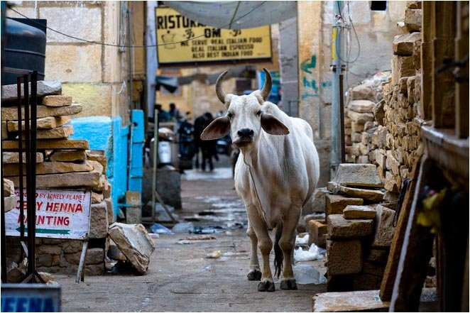 Holy cow in small lane