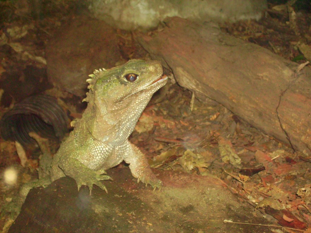 Tuatara, Rainbow Springs Nature Park
