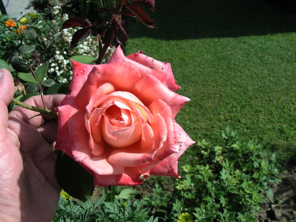 This pink rose is to Kasia from Chashma Shahi Garden.