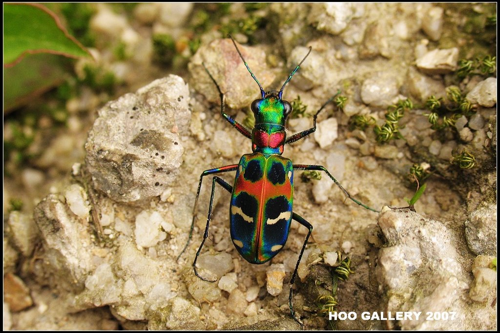 Chinese Tiger Beetles