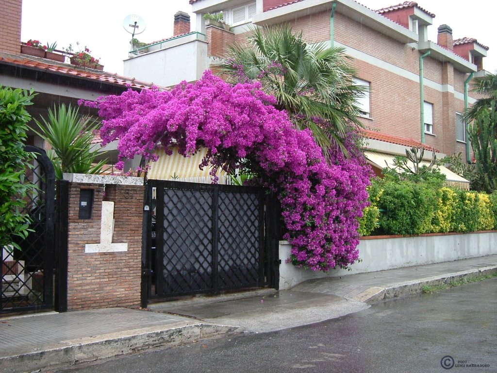 Cancello e Bouganvillea