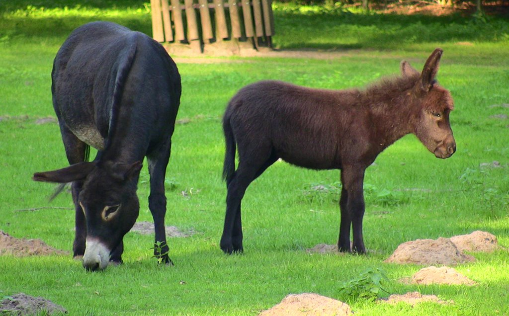 Mother donkey with young