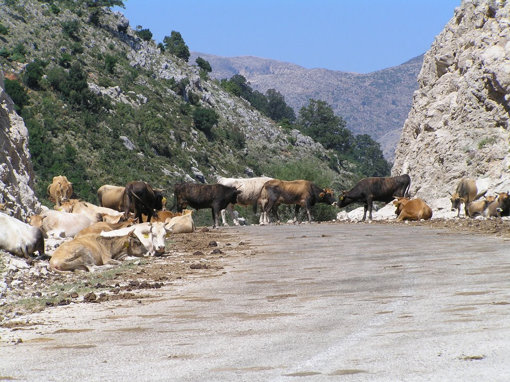 Cows and mountain pass