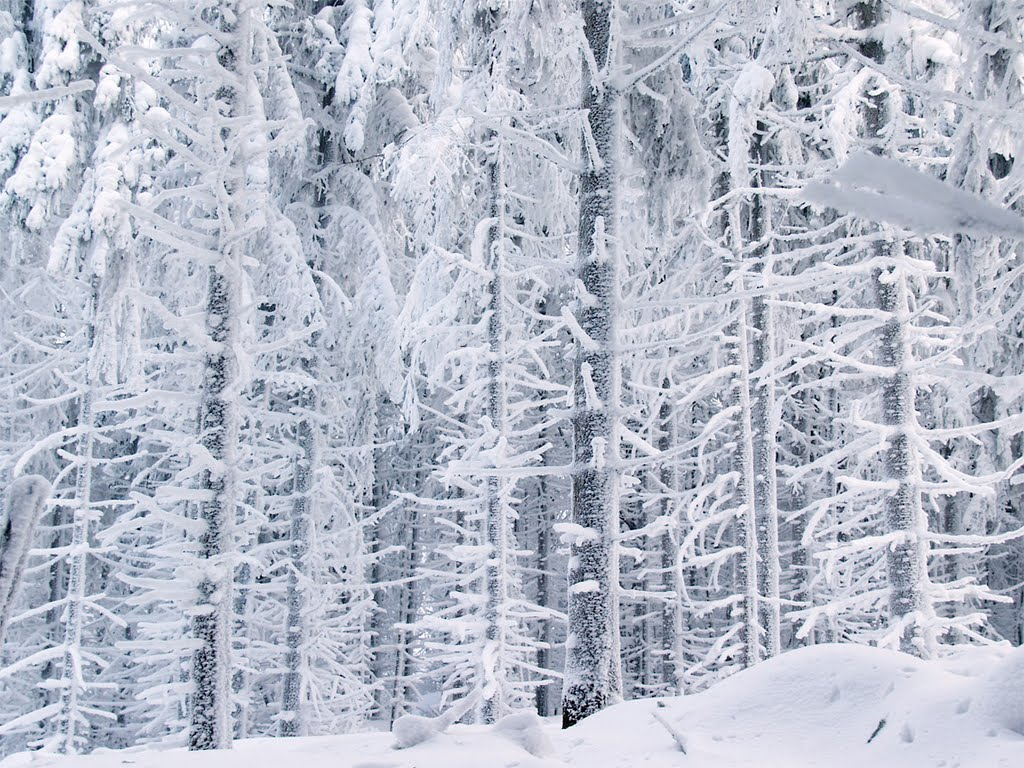 Snowcovered forest II 200601#63