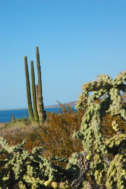 Cactus by the Sea of Cortez on Highway 5