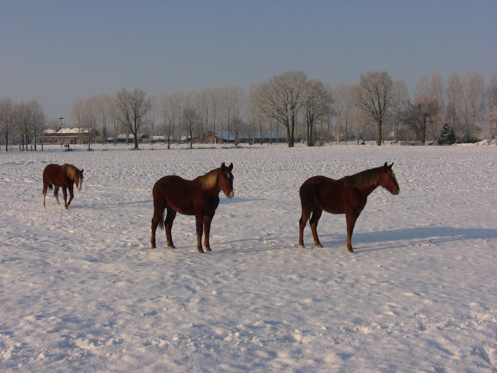 Horse's in the snow