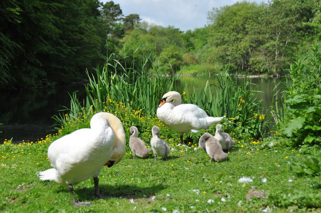 Happy Family with 4 Cygnets  [mute swans]