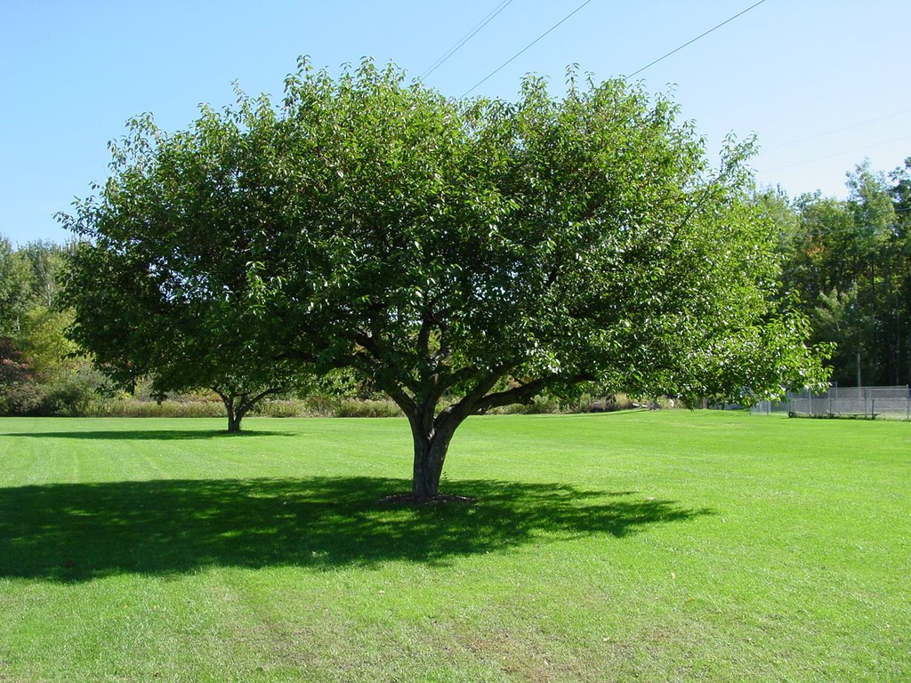 A Tree at Maple Street Park, Essex Junction, Vermont