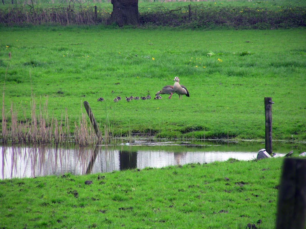 Landscape with familly goose