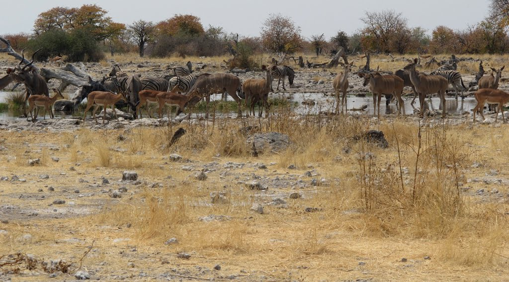Animals at waterhole Goas in Etosha Pan (Namibia)