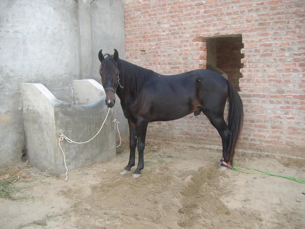 Black Magic Horse Own By Ch Shaban Janjeel Mapio Net