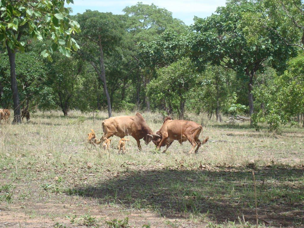 Nyamwezi cattle in Tabora Region