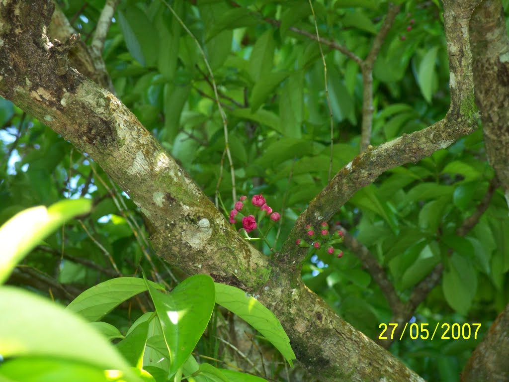 Lau Lau Fruit Flowers On Tree Outside Church At Vunairima In Ataliklikun Bay In Enbprov Png Mapio Net