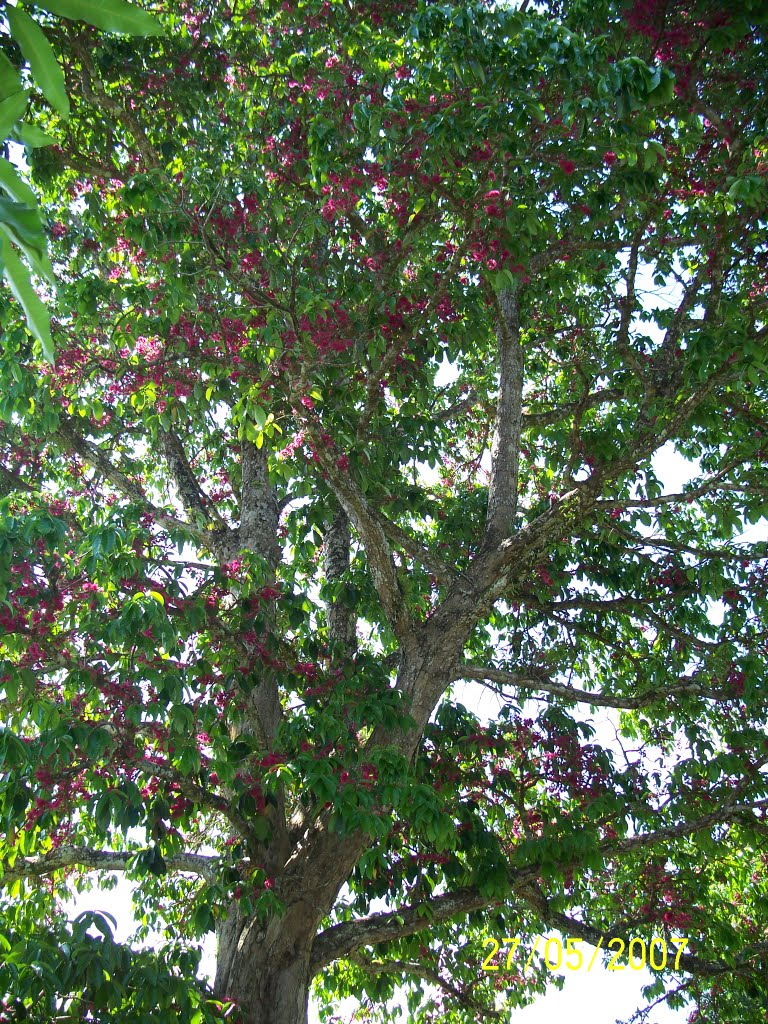 Lau Lau Tree In Full Fruit Flowering At Vunairima George Brown College Grounds In Weber Harbour Area In Ataliklikun Bay In Enbprov Png Mapio Net