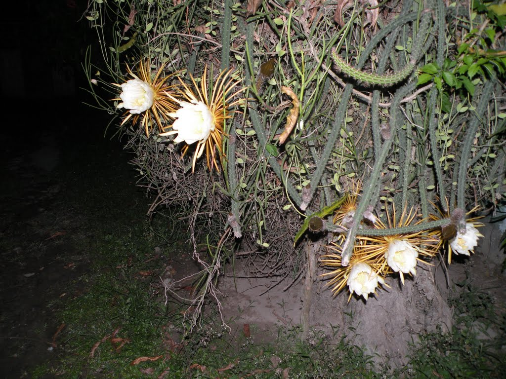 We Call This Beautiful Flower Night Queen Its A Climber Cactus