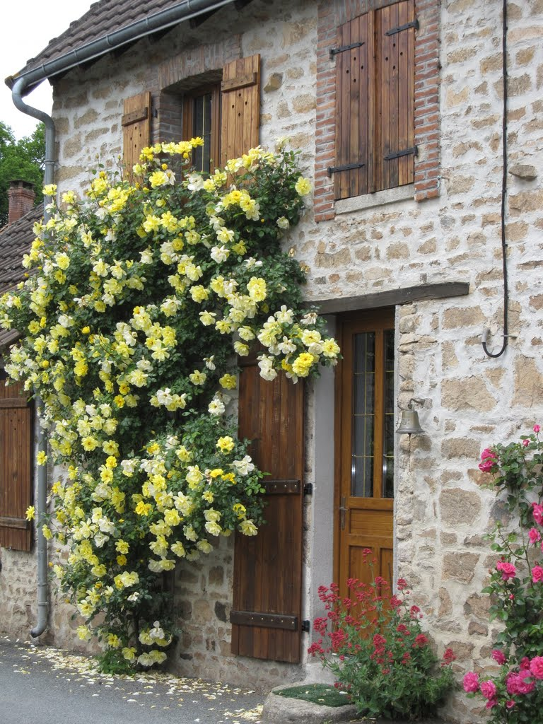 Fresh roses clinging to old walls