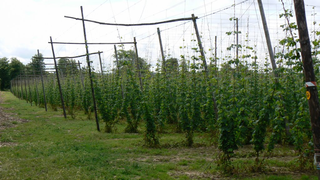 Hop Field, Pedding Lane