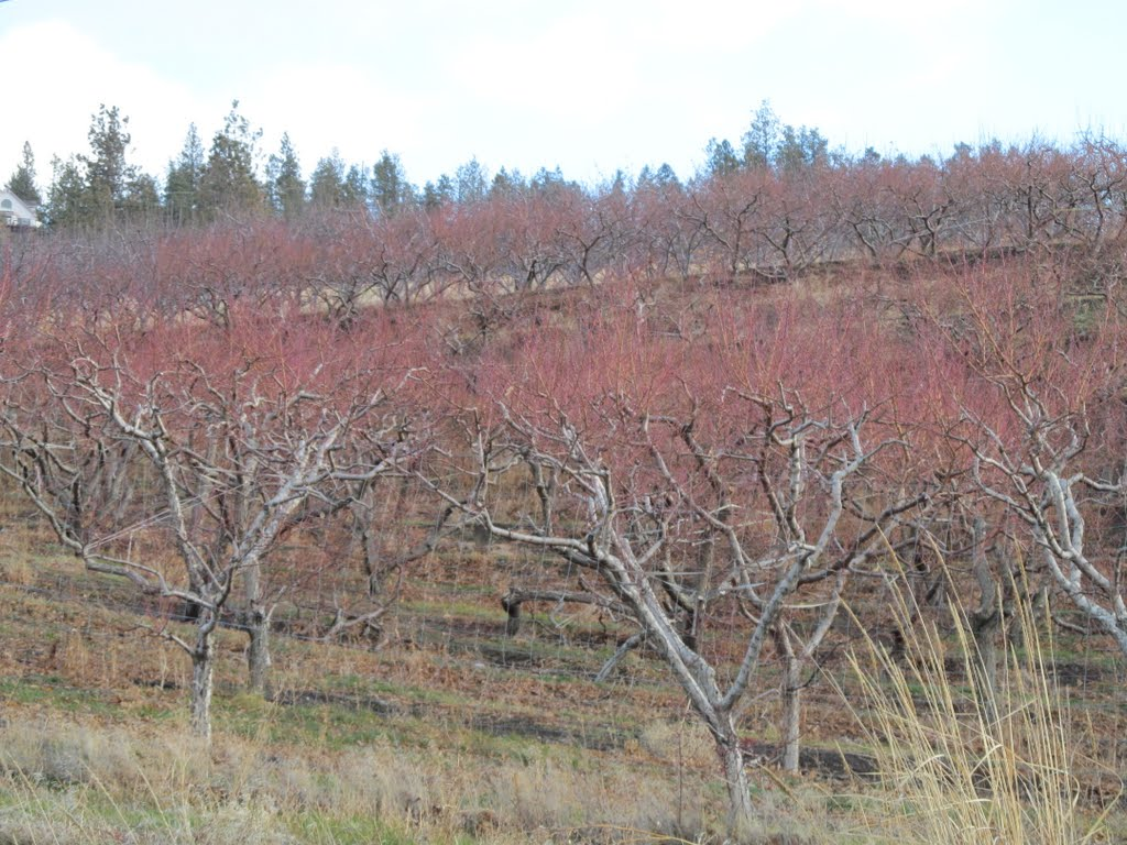 Okanagan Orchards In Winter Near Vernon BC Dec '11