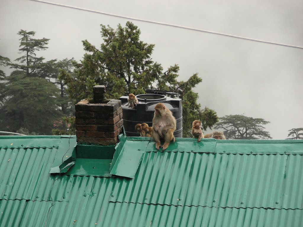 The troublesome monkeys of Shimla on the rooftops. Normally the water tank would be protected with wire.
