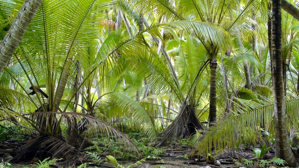 Coconut forest with Polypodium scolopendria