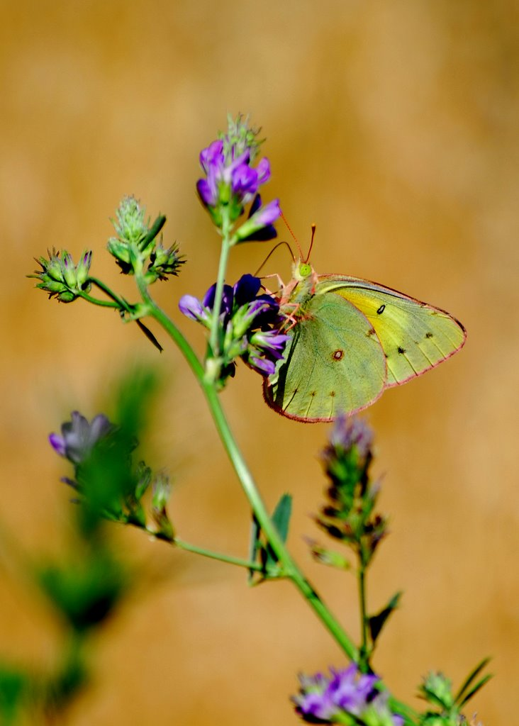 Orange Sulfer Butterfly on Wild Alfalfa- _Colias eurytheme_, Jerome County, Idaho - Tom Askew