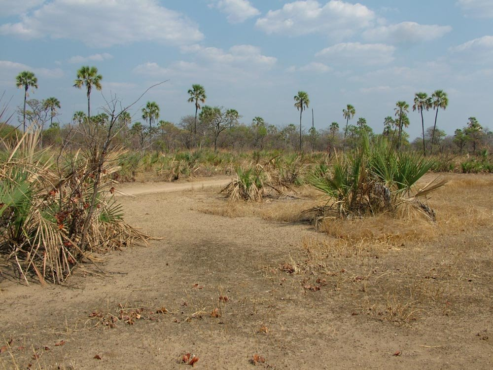 Palm Trees in the Luangwa Valley