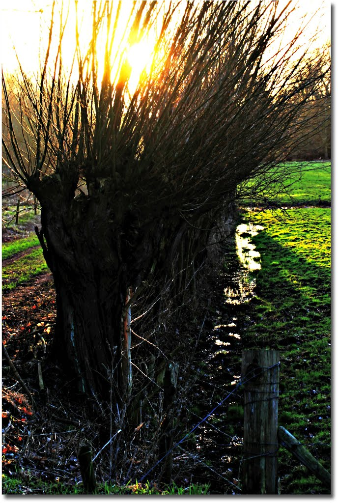 Willows  # 3