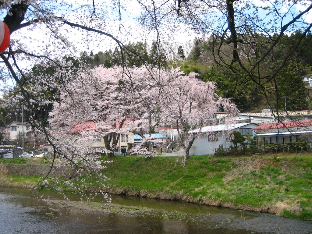 満開 Cherry tree in full bloom