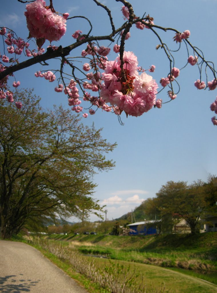 Double cherry blossom and cherry