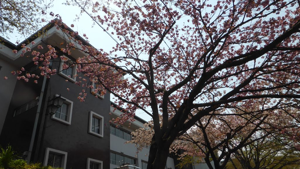 Double cherry blossom